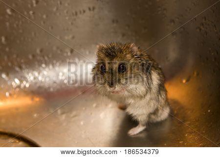frighten wet hamster in the kitchen wash-bowl