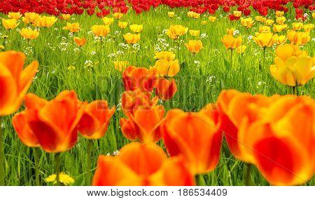 A field of glorious multicolored tulips in springtime. Mainau Island, Germany.