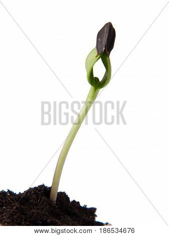 Sunflower seeds germination isolated on white background