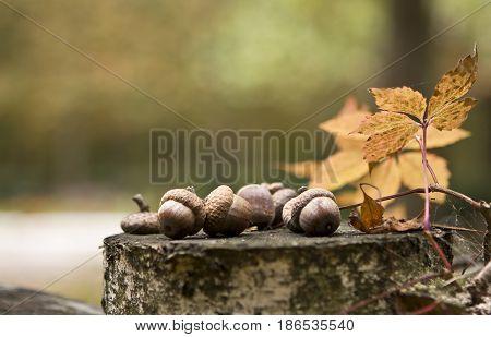 oaken acorns on the birch stump in autumn