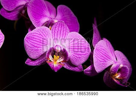 Beautiful purple orchidea flower with black background