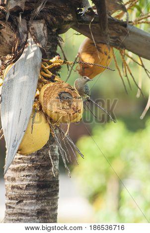 Hoffman's woodpecker sitting on coconut in a palm tree