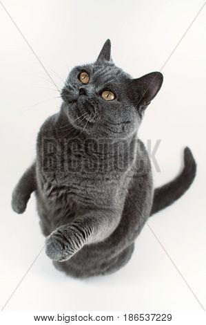 Gray British Shorthair Cat Playing