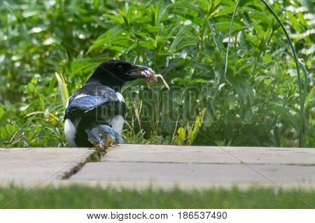 Eurasian magpie (Pica pica) with chick in beak. Bird in the crow family (Corvidae) with prey taken from nest of songbird