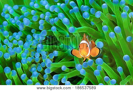 Clown fish, Amphiprion ocellaris