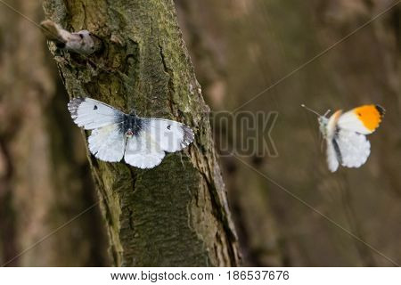 Orange-tip butterflies (Anthocharis cardamines) before mating. Pair of insects in the family Pieridae with female presenting genitalia for copulation with male in flight