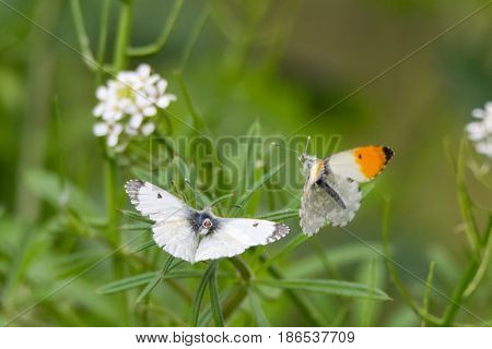 Orange-tip butterflies (Anthocharis cardamines) about to mate. Pair of insects in the family Pieridae with female presenting genitalia for copulation with male in flight