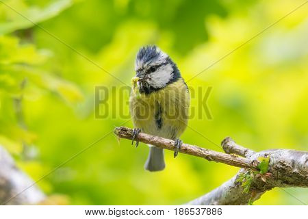 Blue tit (Cyanistes caeruleus) with caterpillar in beak. Bird in the family Paridae collecting invertebrates to feed chicks in nest