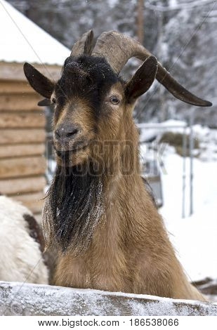 posing goat in the village enclosure in winter