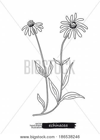 Echinacea isolated vector sketch hand drawn illustration. Detailed botanical sketch for tea, organic cosmetic, medicine, aromatherapy. Black and white.
