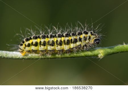 Narrow-bordered five-spot burnet moth (Zygaena lonicerae) caterpillar profile. A yellow and black moth larva in the family Zygaenidae with warning coloration and hair