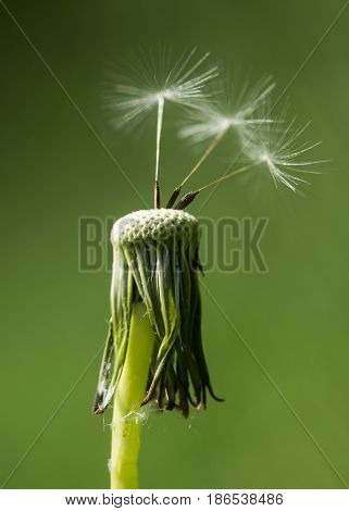 Dandelion (Taraxacum officinale) seedhead with achenes. Last remaining wind blown seeds on flowerhead in the daisy family (Asteraceae) poster