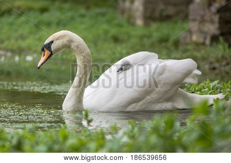 Mute swan (Cygnus olor) cygnet on swimming female. Young chick nestled in feathers hitching a ride on back of mother