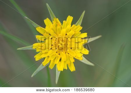 Goat's-beard (Tragopogon pratensis) inflorescence. Plant in the daisy family (Asteraceae) with bright yellow flowerheads long bracts and linear lanceolate leaves