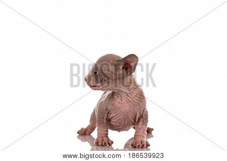 One month old Canadian sphynx kitten cat on white background
