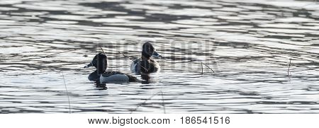 Ring-necked ducks.   Mating pairs compete for the best genes during their brief stay on a lake in northeastern Canada.