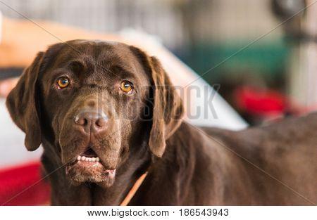 Portrait of a brown Labrador Retriever. Dog portrait