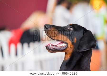 Portrait of Beauceron or Pastor de Beauce. Dog portrait