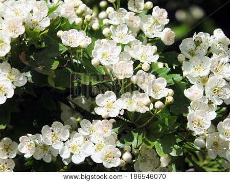 wild hawthorn flowers in spring in british woodland