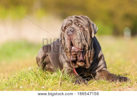 Neapolitan Mastiff On A Meadow