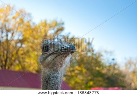 The African Ostrich (Struthio camelus) at the ostrich farm close-up portrait
