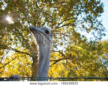 The African Ostrich (Struthio camelus) on nature