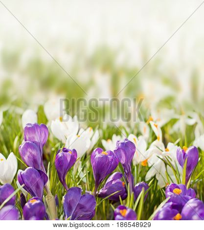 Spring Flowers On Blurred Background