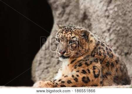 Leopard against the background of a stone wall. The leopard lies against the background of a stone in the left part of a shot of copyspase with a dark background