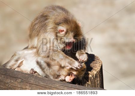 Monkey with a cub. The monkey looks after cleans a cub sitting on a log. Light non-uniform gray beige background