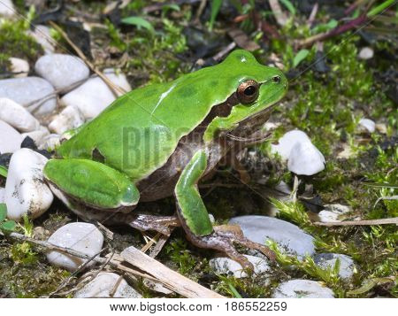 Italian tree frog (Hyla intermedia) wandering on the underbrush or meadow