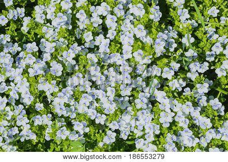 Natural Carpet Flower