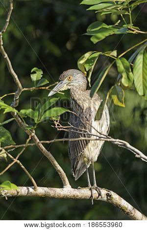 Immature Yellow Crowned Night Heron in a tree in Tortuguero National Park in Costa Rica