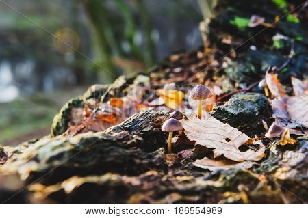 Single mushroom white fungus foreground, beech leaves in autumn forest. Golden sun rays in orange leaves. Dark magic forest and sunshine.