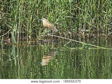Squacco Heron Perched On A Grass Reed