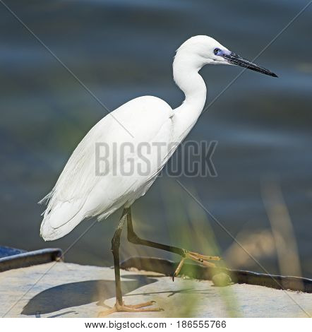 Little Egret Stood On Wall Of River Bank