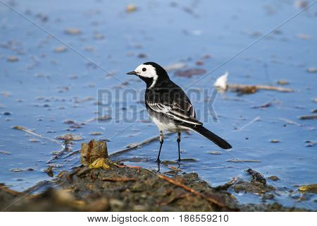 A Pied Wagtail standing at the waters edge
