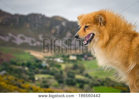 Dog in beautiful rural Irish landscape of Kerry county in the background, Ireland