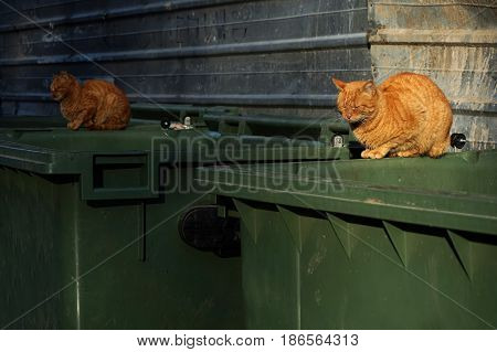 Two of the same kind orange homeless shabby dirty stray cats lying on the garbage container in small alley. Selective focus on the first cat. Abandoned animals concept. Homeless animals concept