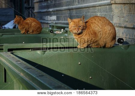 Two of the same kind orange homeless shabby dirty stray cats lying on the garbage container in small alley. Close upselective focus on the cat looking at the camera. Abandoned animals concept.