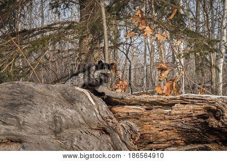 Silver Fox (Vulpes vulpes) Sits Atop Log - captive animal