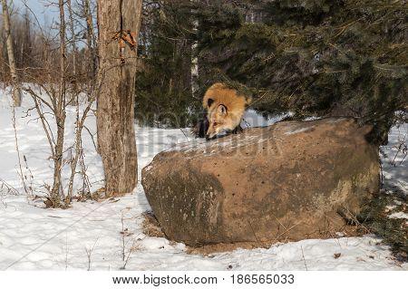 Amber Phase Red Fox (Vulpes vulpes) Turns Atop Rock - captive animal