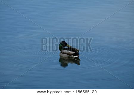 A drake is posing - Tsaritsyno park - Moscow, Russia