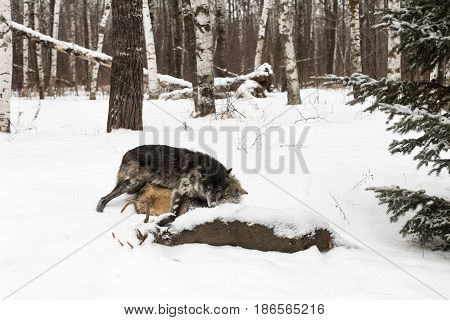 Black Phase Grey Wolf (Canis lupus) Pushes Other Wolf At Deer Carcass - captive animals