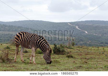 Zebra Standing Close To The Path Way