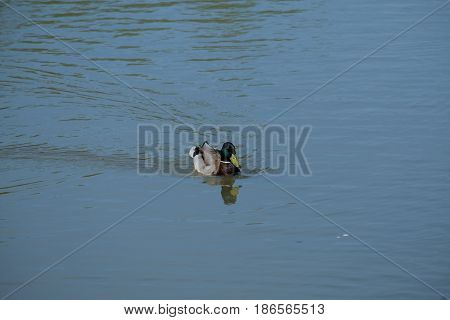 A drake is swimming - Tsaritsyno park - Moscow, Russia