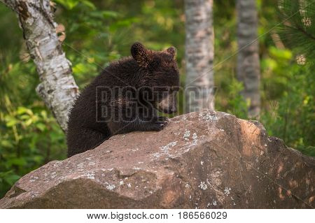 Black Bear (Ursus americanus) Cub Bows Head Atop Rock - captive animal