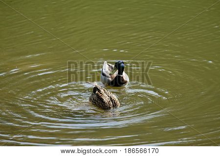 A drake is swimming and a duck is fishing - Tsaritsyno park - Moscow, Russia