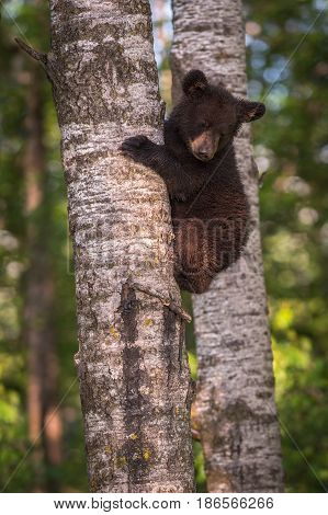 Black Bear (Ursus americanus) Cub Looks Down From Tree Trunk - captive animal
