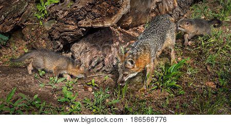 Grey Fox Vixen and Kits (Urocyon cinereoargenteus) Examine Log - captive animals
