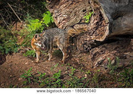 Grey Fox Vixen (Urocyon cinereoargenteus) Turns With Meat - captive animla